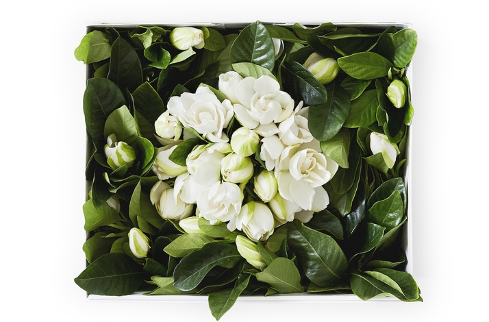 Deluxe Vine and Bloom Large Gardenia Box: In San Francisco, California (1)