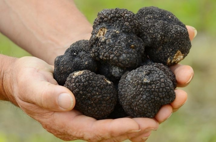 Go on a guided truffle-hunting expedition in the Motovun Forest: In Livade, Croatia (1)