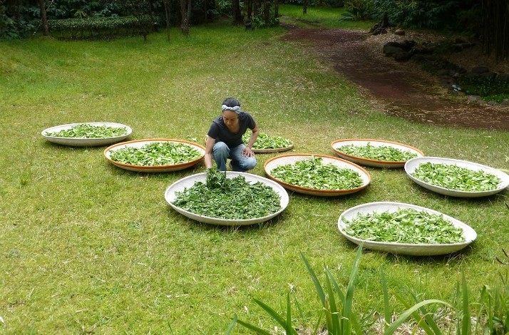 Harvest your own tea with the founders of Tea Hawaii & Company: In Volcano, Hawaii (1)