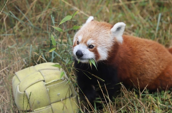Meet a Red Panda in a Zookeeper-Led Tour: In San Francisco, California (1)