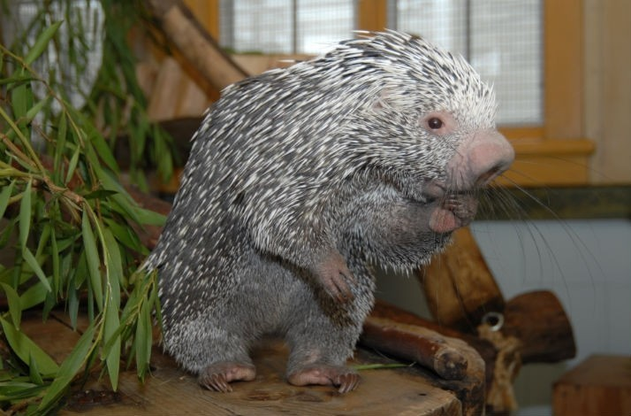 Pet a Hedgehog and Other Animal Ambassadors Inside the Koret Animal Resource Center: In San Francisco, California (1)
