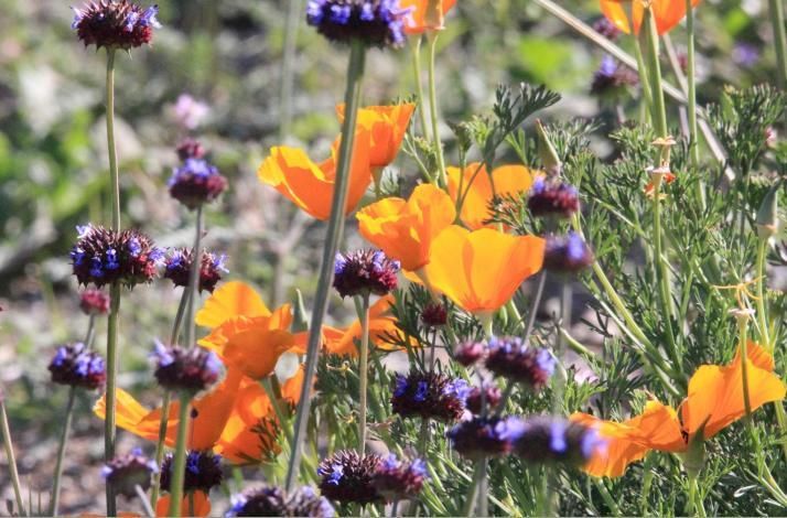 California Poppys and Sage Print