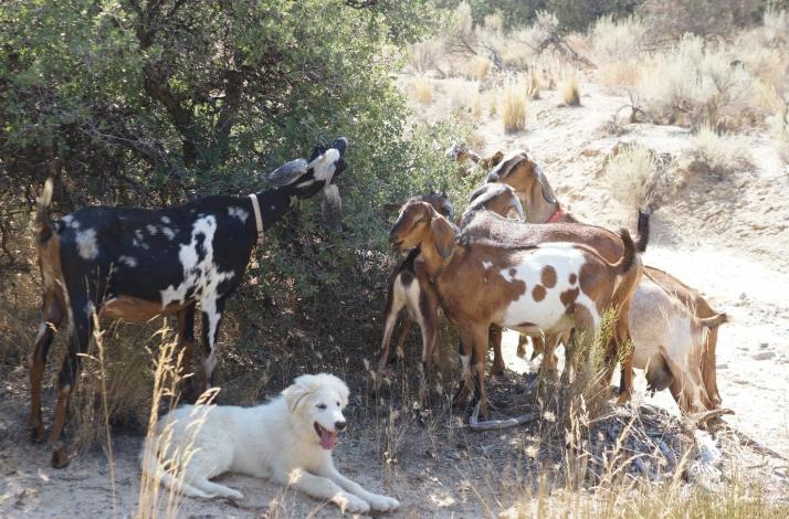 Farm Tour, Lunch, and Goat Herding: In Maricopa, California