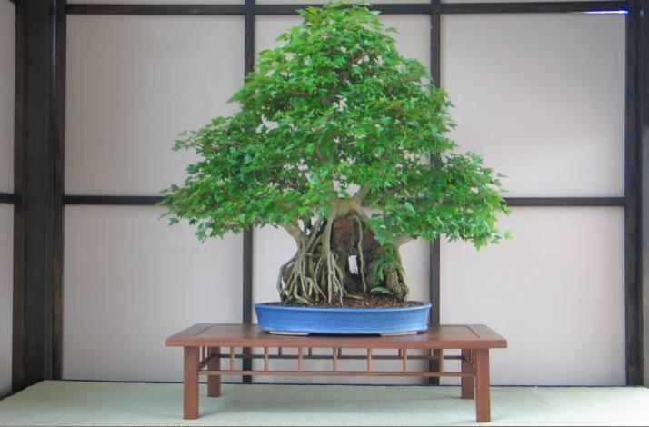 Private Bonsai Class with NYC's Premier Professional Bonsai Artist: In New York, New York (1)