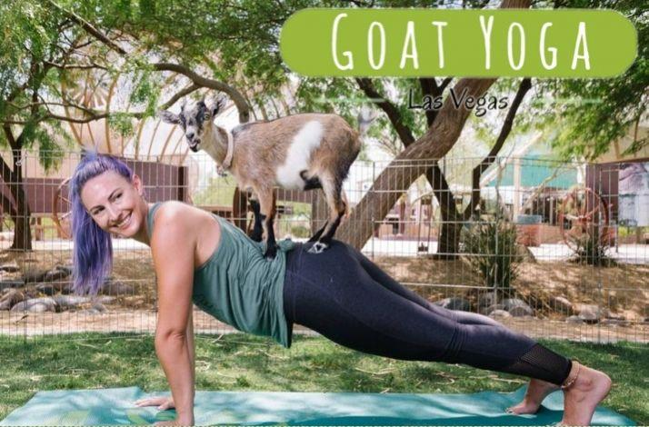 Join the Founders of Goat Yoga Las Vegas for a Private Feeding and Yoga Session with Baby Goats: In Las Vegas, Nevada (1)