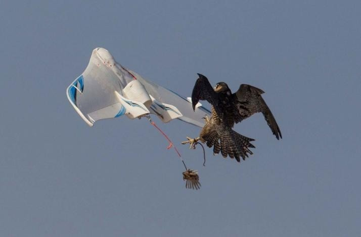 Fly falcons in the desert with the Royal Shaheen Falconers: In Dubai, United Arab Emirates (1)